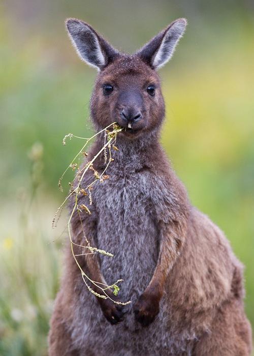 Что едят кенгуру