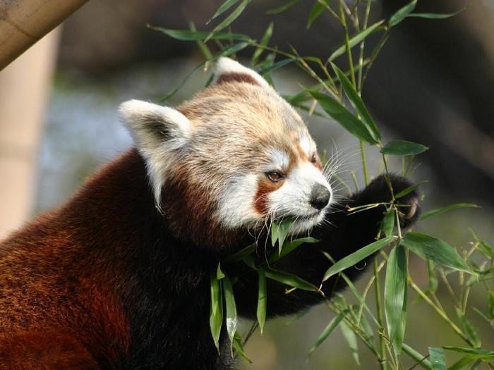 Красная-панда-Описание-и-образ-жизни-красной-панды-3