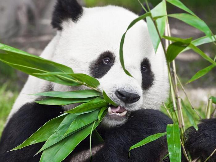 Что-ест-панда-в-природе-Чем-питаются-панды-кроме-бамбука-1