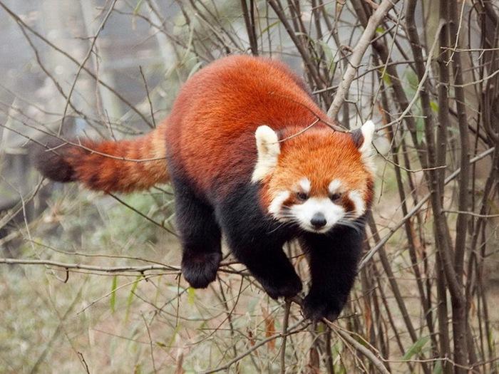 Красная-панда-Описание-и-образ-жизни-красной-панды-8