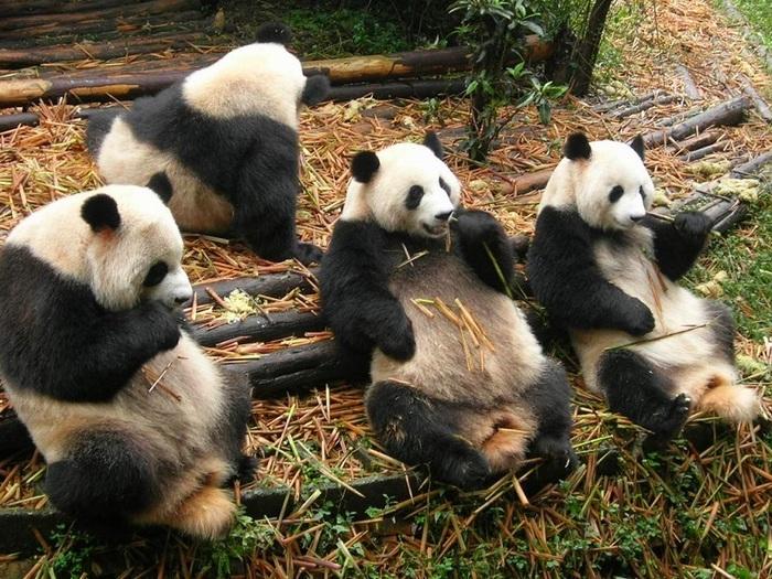 Что-ест-панда-в-природе-Чем-питаются-панды-кроме-бамбука-3
