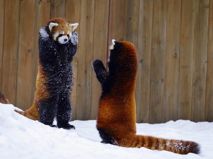 Красная-панда-Описание-и-образ-жизни-красной-панды-7
