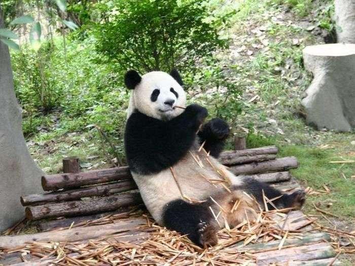 Что-ест-панда-в-природе-Чем-питаются-панды-кроме-бамбука-2
