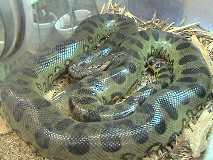Анаконда-змея-Описание-виды-и-образ-жизни-анаконды-10
