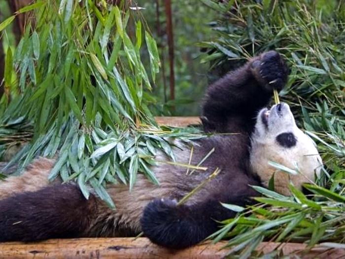 Что-ест-панда-в-природе-Чем-питаются-панды-кроме-бамбука-5