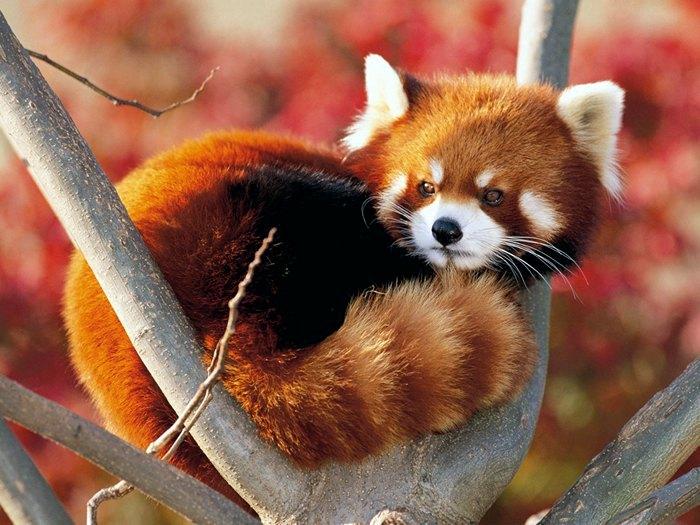 Красная-панда-Описание-и-образ-жизни-красной-панды-1