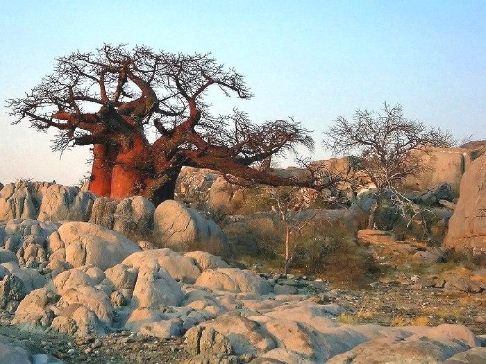 Баобаб Adansonia kilima