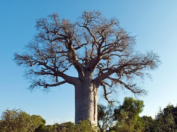 Баобаб Adansonia madagascariensis