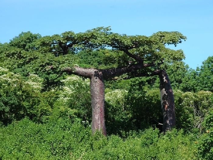 Баобаб Adansonia suarezensis