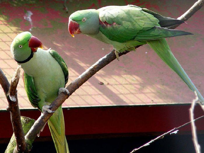 Виды-попугаев-Описание-и-образ-жизни-различных-попугаев-20