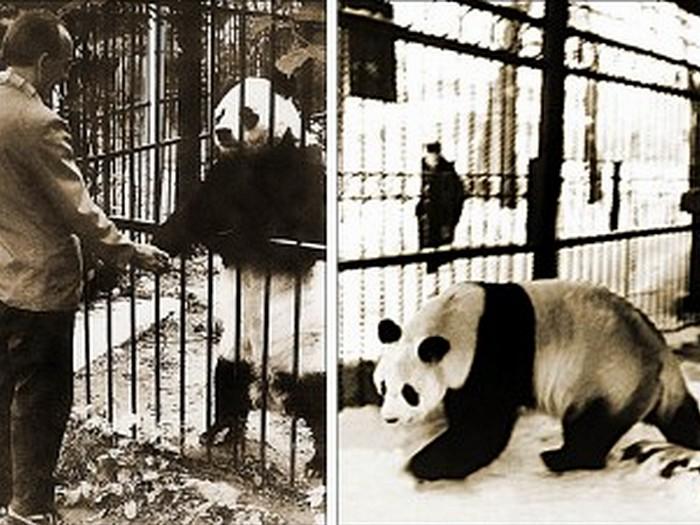 Где-живёт-панда-на-каком-материке-Где-обитает-панда-1