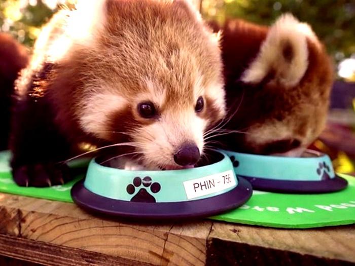 Что-ест-панда-в-природе-Чем-питаются-панды-кроме-бамбука-8
