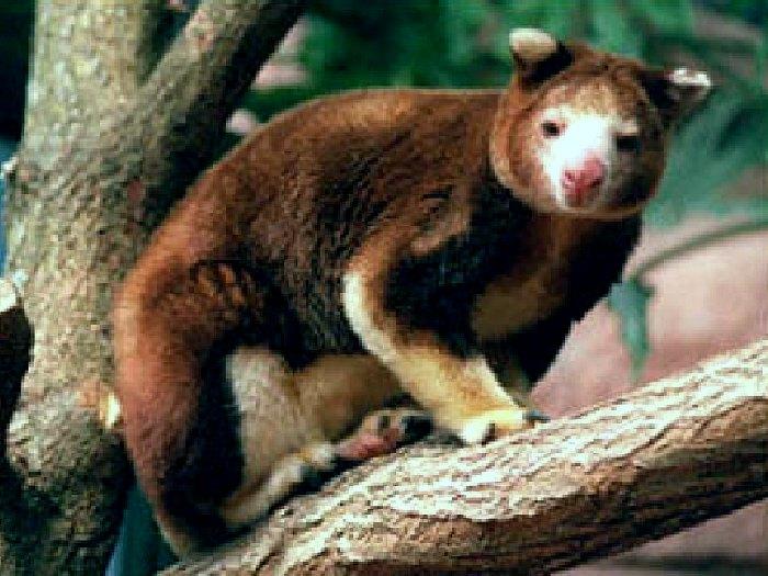 Древесный-кенгуру-Описание-и-образ-жизни-древестного-кенгуру-9