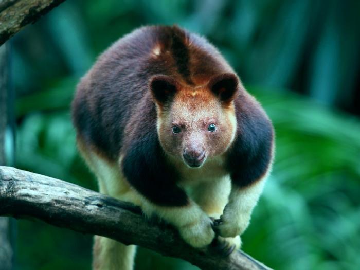 Древесный-кенгуру-Описание-и-образ-жизни-древестного-кенгуру-10