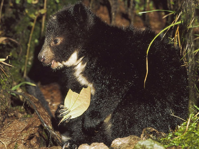 Древесный-кенгуру-Описание-и-образ-жизни-древестного-кенгуру-8