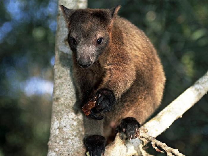 Древесный-кенгуру-Описание-и-образ-жизни-древестного-кенгуру-6