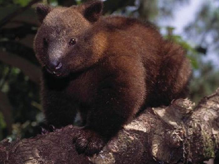 Древесный-кенгуру-Описание-и-образ-жизни-древестного-кенгуру-7