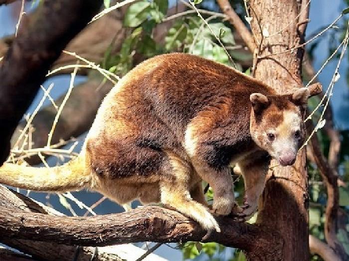 Древесный-кенгуру-Описание-и-образ-жизни-древестного-кенгуру-1