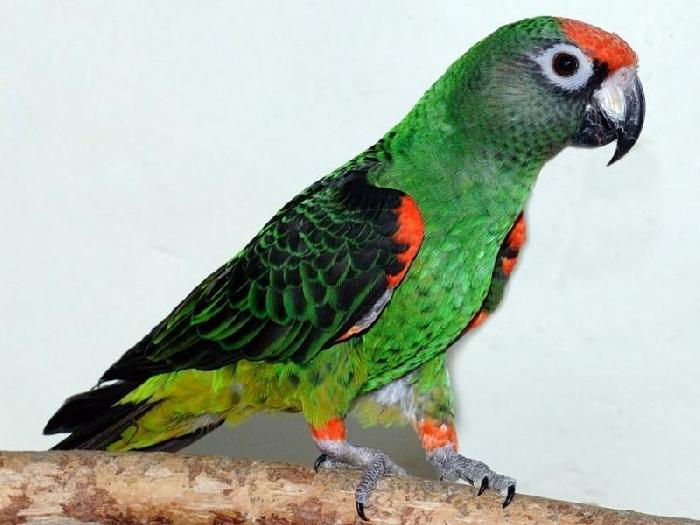 Виды-попугаев-Описание-и-образ-жизни-различных-попугаев-22
