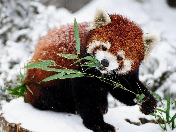 Красная панда зимой