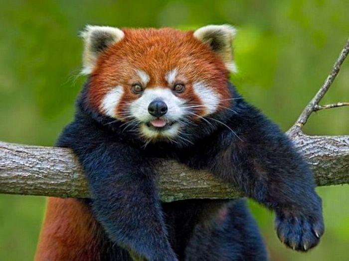 Красная-панда-Описание-и-образ-жизни-красной-панды-9