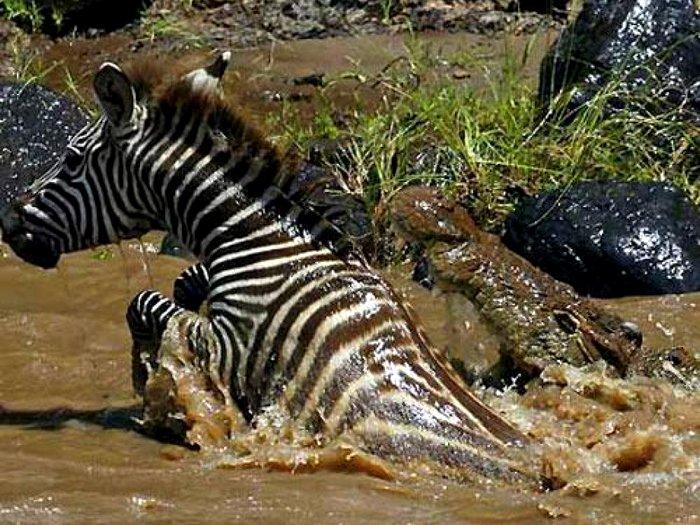 Нильский-крокодил-Описание-и-образ-жизни-нильского-крокодила-2