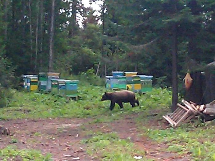 Медведь на пасеке