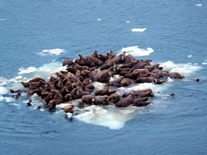 моржи на льдине