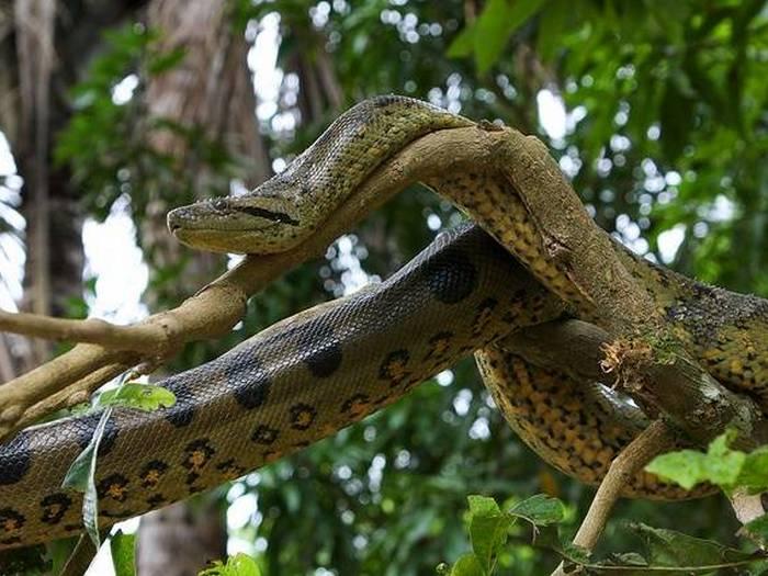 Анаконда-змея-Описание-виды-и-образ-жизни-анаконды-4