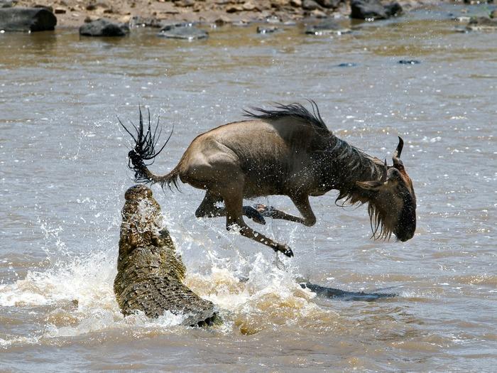 антилопа и крокодил