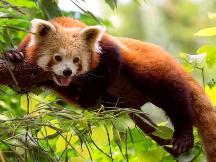 Красная-панда-Описание-и-образ-жизни-красной-панды-4