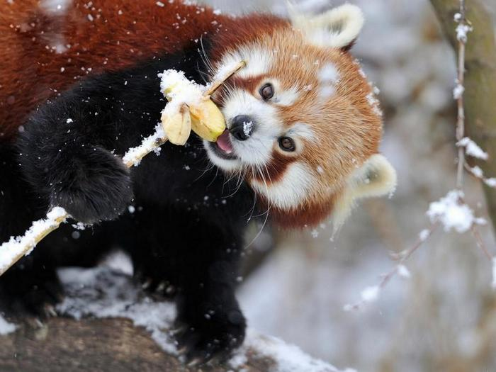 Красная-панда-Описание-и-образ-жизни-красной-панды-5
