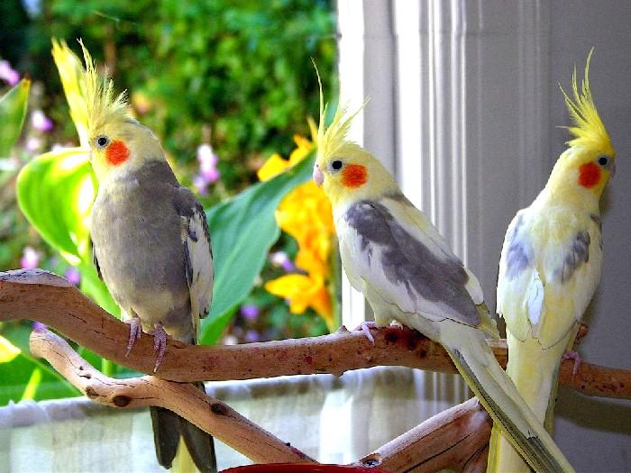 виды домашних попугаев фото и название