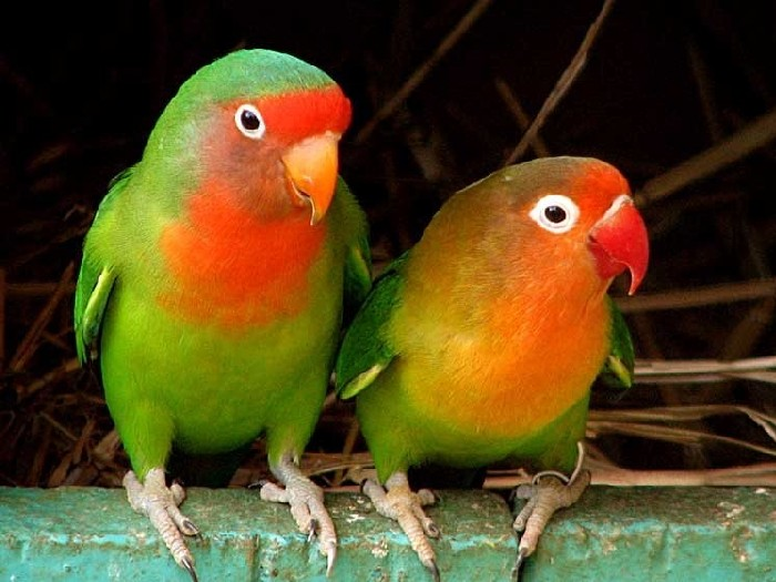 Виды-попугаев-Описание-и-образ-жизни-различных-попугаев-25