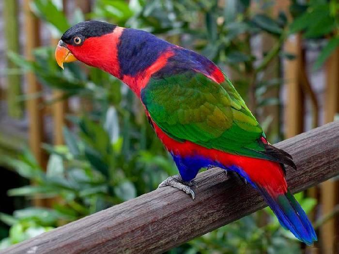 Виды-попугаев-Описание-и-образ-жизни-различных-попугаев-16
