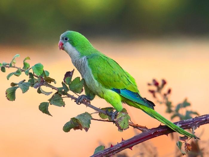 Виды-попугаев-Описание-и-образ-жизни-различных-попугаев-23