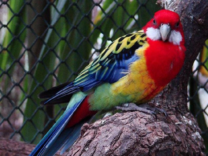 Виды-попугаев-Описание-и-образ-жизни-различных-попугаев-24