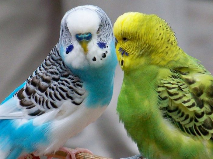 Виды-попугаев-Описание-и-образ-жизни-различных-попугаев-26