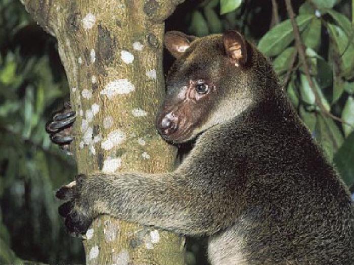 Древесный-кенгуру-Описание-и-образ-жизни-древестного-кенгуру-4