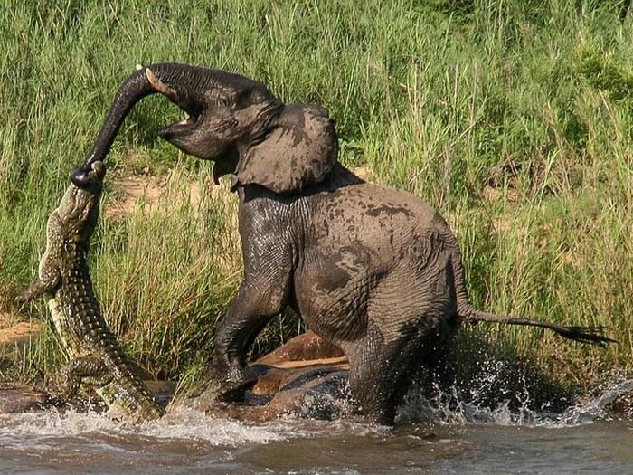 нильский крокодил и слон