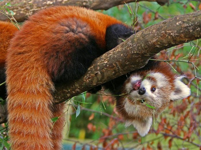 красная панда на дереве