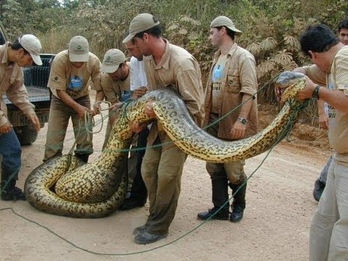 Анаконда-змея-Описание-виды-и-образ-жизни-анаконды-11