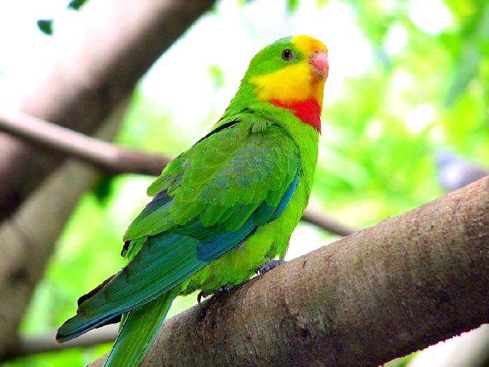 Виды-попугаев-Описание-и-образ-жизни-различных-попугаев-13