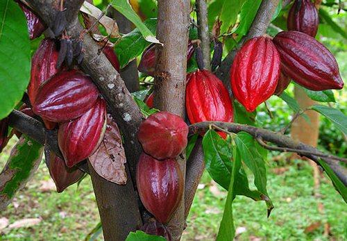 Какао дерево доклад для детей 3866