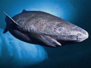 Гренландская акула. Описание и образ жизни гренландской акулы