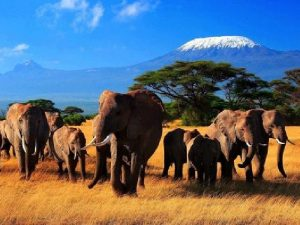 Слоны — описание. Виды слонов, образ жизни