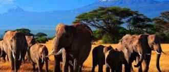 Слоны - описание. Виды слонов, образ жизни