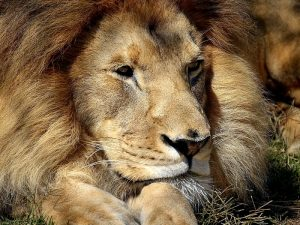 Сколько лет живут львы? Продолжительность жизни льва