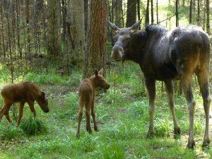 Чем питается лось? Что ест лось зимой в лесу?