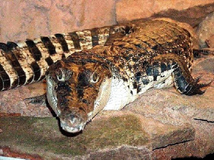 Новогвинейский крокодил. Где и как живут новогвинейские крокодилы?